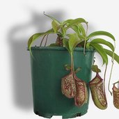 Nepenthes maxima x ventricosa (M)