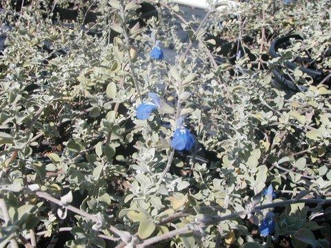 Salvia Chionophylla Silver Carpet Sage Snowflake Sage