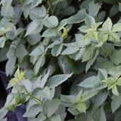 Rubus 'Apache'