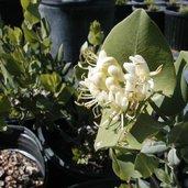 Lonicera albiflora