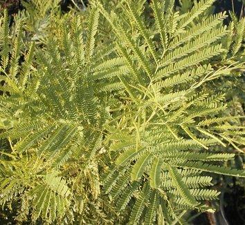 Acacia berlandieri 1