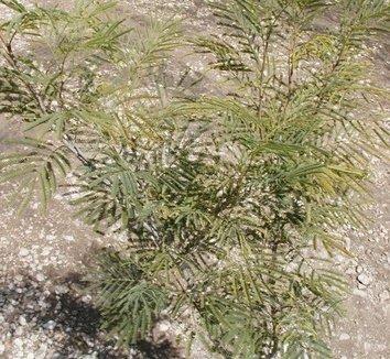 Acacia berlandieri 2