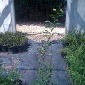 Citrus ichangensis x citrus reticulata
