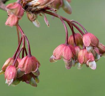 Acer diabolicum 7 flower