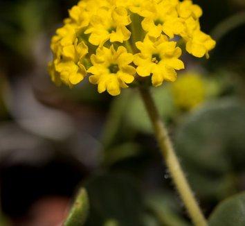 Abronia latifolia 1 flower