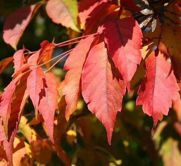 Acer cissifolium 4