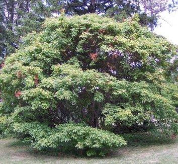Acer cissifolium 1 form