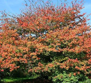 Acer cissifolium 3 form