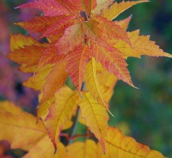 Acer cissifolium 7
