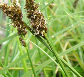 Carex densa 1 flower