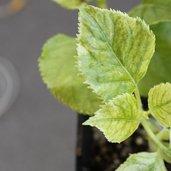 Hydrangea anomala spp. petiolaris 'Early Light'