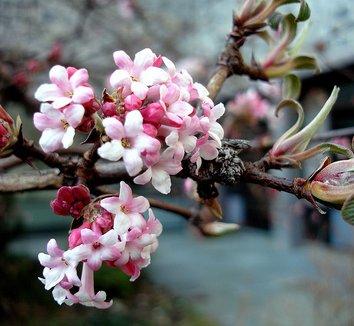 Viburnum bodnantense 'Charles Lamont' 1 flower