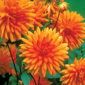 Dahlia 'Andries' Orange'