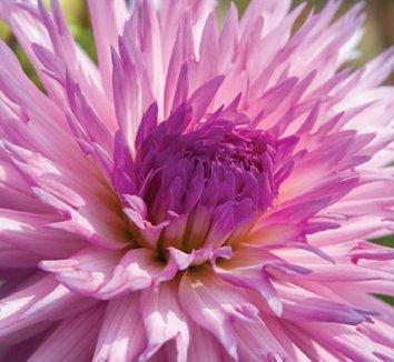 Dahlia 'Popular Guest' 1 flower