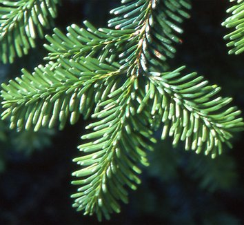 Abies mariesii 3 needles