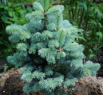 Abies veitchii 'Glauca' 1 form