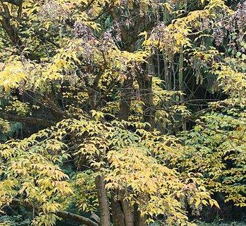 Acer henryi 1 form