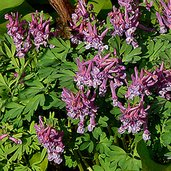 Corydalis bulbosa