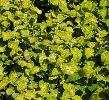Viburnum lantana 'Variegatum' 1