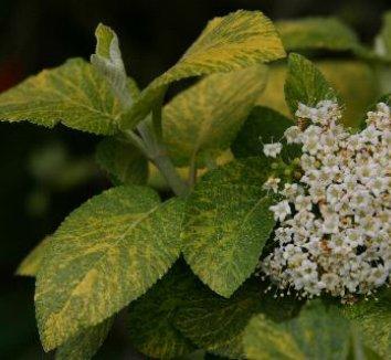 Viburnum lantana 'Variegatum' 4 flower