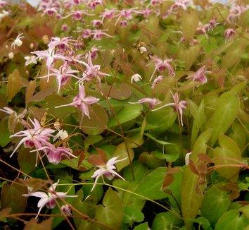 Epimedium x 'Flamenco Dancer' 1 flower, form