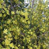 Jasminum fruticans Hardy