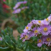 Lampranthus copiosus