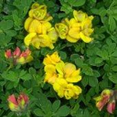 Lotus corniculatus plenus