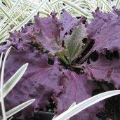 Plantago major 'Purple Perversion'