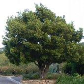 Podocarpus falcatus [UCSC95.340]