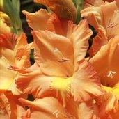 Gladiolus 'Apricot Lustre'