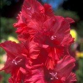 Gladiolus 'Allegro'
