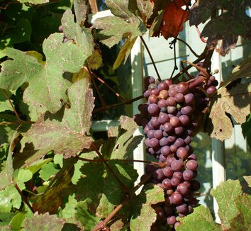 Vitis vinifera 'Purpurea' 1 fruit