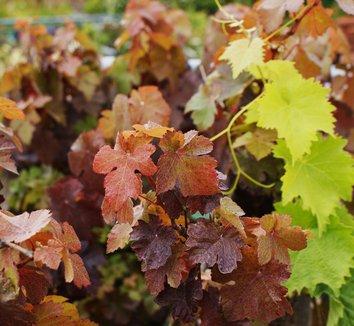 Vitis vinifera 'Purpurea' 4