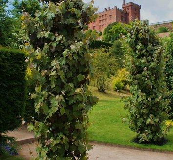 Vitis vinifera 'Purpurea' 5 form