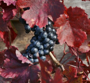 Vitis vinifera 'Purpurea' 9 fruit