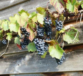 Vitis vinifera 'Purpurea' 8 fruit