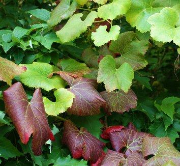 Vitis vinifera 'Purpurea' 14