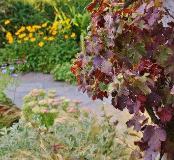 Vitis vinifera 'Purpurea' 12 landscape