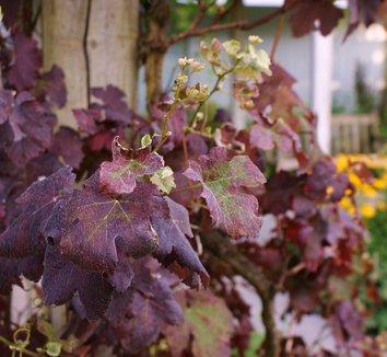 Vitis vinifera 'Purpurea' 11