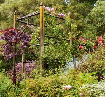 Vitis vinifera 'Purpurea' 17 landscape