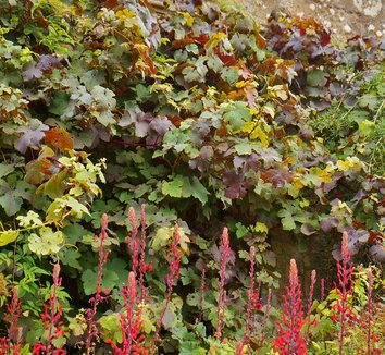 Vitis vinifera 'Purpurea' 15