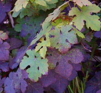 Vitis vinifera 'Purpurea' 18