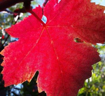 Vitis vinifera 'Purpurea' 20