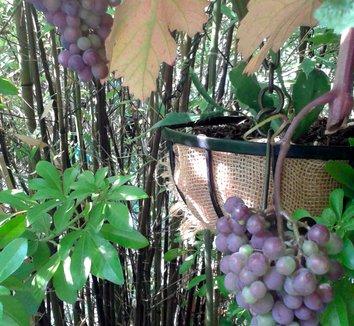 Vitis vinifera 'Purpurea' 21 fruit