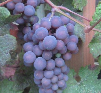 Vitis vinifera 'Purpurea' 22 fruit