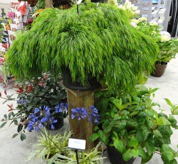 Acacia cognata 'Cousin Itt' 5