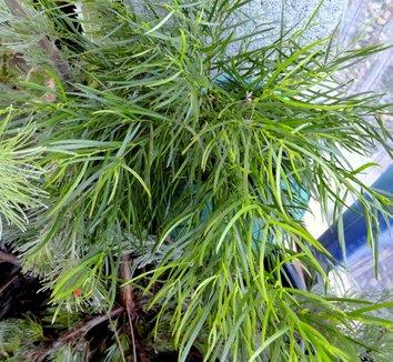 Acacia cognata 'Cousin Itt' 7