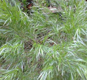 Acacia cognata 'Cousin Itt' 8