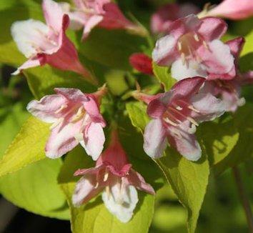 Weigela 'Looymansii Aurea' 6 flower